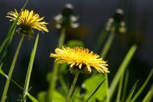 common-dandelion-331701_1280