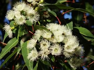 eucalyptus-flower-777903_1280
