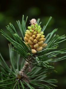 pine-770075_1280